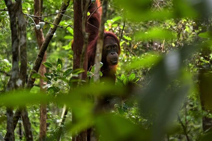 Orangutans in Indonesia