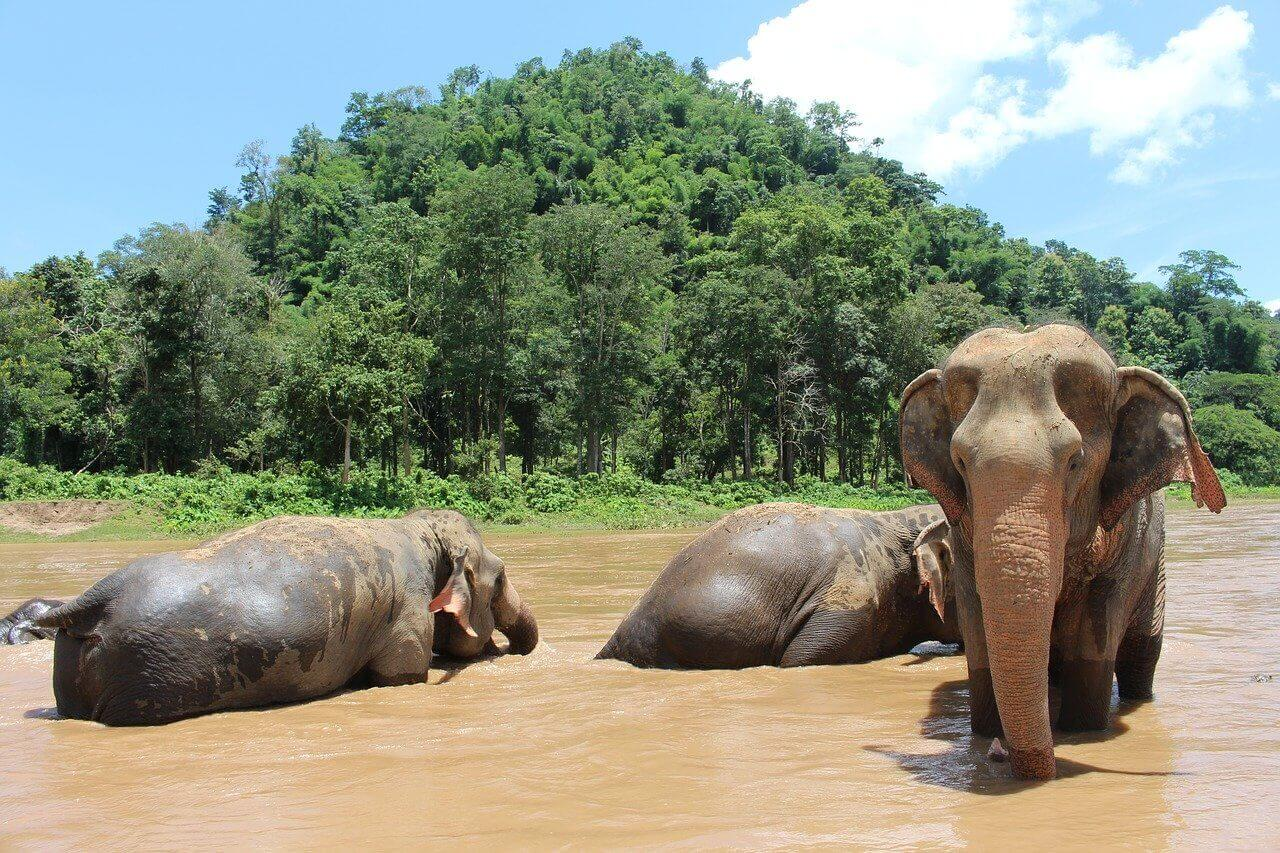 Three elephants in river in elephant nature park thailand